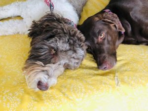 A photo shows two dogs. These dogs belong to online therapist in Denver, CO with Hot Mess Counseling for moms in Lakewood, CO. Therapy for teens, moms, families and marriage counseling near Morrison, Lakewood, Littleton and beyond can help you.